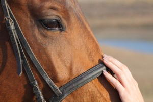 Horse head getting petted